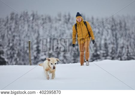 Young Man With Dog In Winter Nature. Labrador Retriever Running In Snow Against Forest. Jizera Mount