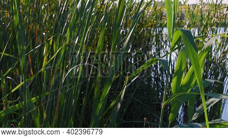 Overgrown Lake Shore With Lush Reed Leaves In Bright Sunlight. Relaxing Zen-like Summer Scene With C