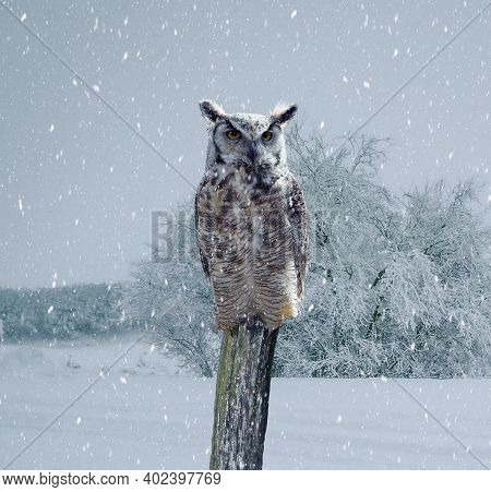 Owl Is Sitting On A Fence And Looking On The The Camera On A Snowy Winter Day