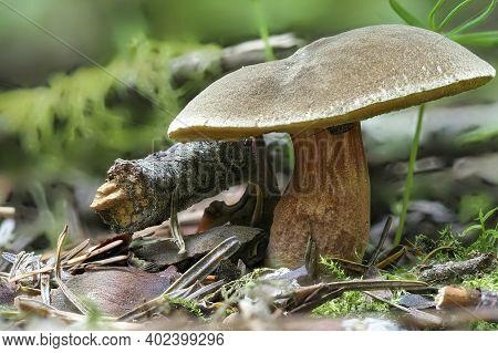 The Red-cracked Bolete (xerocomellus Chrysenteron) Is An Edible Mushroom