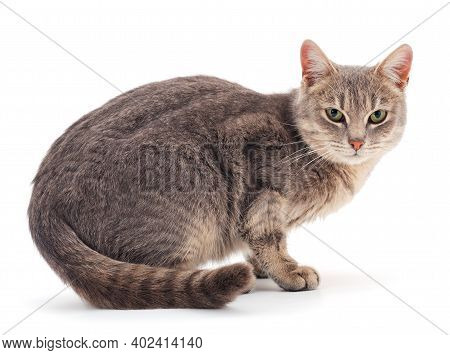 Beautiful Gray House Cat On A White Background.