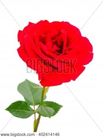 Red Beautiful Rose Isolated On White Background.