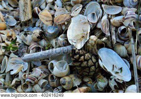 Shells. Pine Cone In Shells. Shell Background.