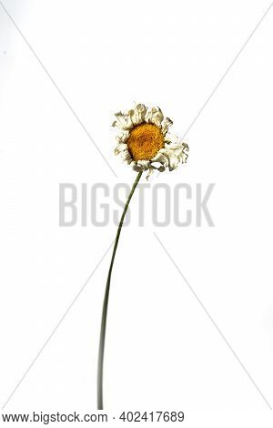 Isolated Dry Chamomile On A White Background Dry Flower With Crumpled Parts Of Dry Leaves And Petals