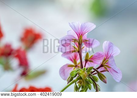 Sweet Scented Geranium. A Geranium Stem With Several Pink Flowers On A Light Background