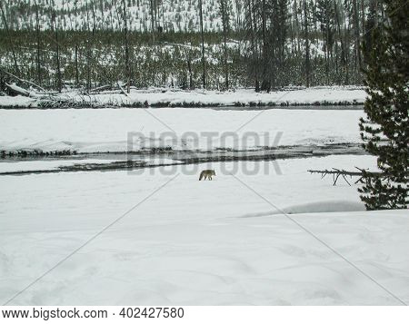 Coyote In Distance On Snow Covered Field