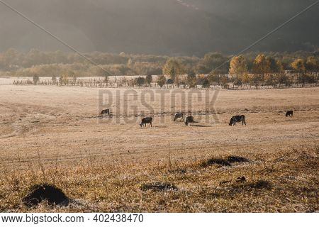 Herd Of Brown Cows Grazes In The Meadow At Dawn. Dawn On A Pasture In The Fog, In The Rays Of The Su