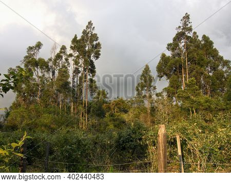 An Eucalyptus Forest Behind An Andean Raspberry Cultivation, In The Hillside Of The Central Andean M