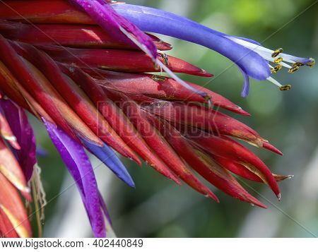 Macro Photography Of A Red Tillandsia Flower, Captured In A Garden Near The Colonial Town Of Villa D