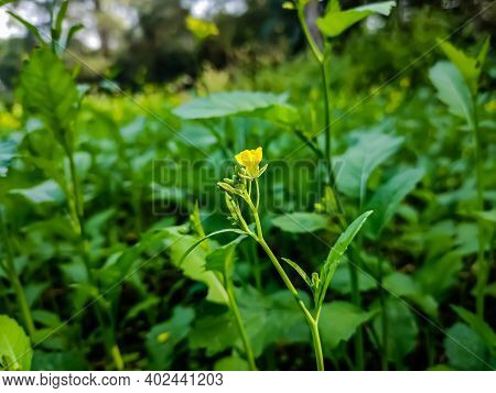 The Mustard Plant Is A Plant Species In The Genera Brassica And Sinapis In The Family Brassicaceae.