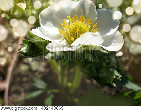 Macro Flower Strawberry. Organic Strawberry Cultivation . Flowers And Foliage. Gardening And Agricul