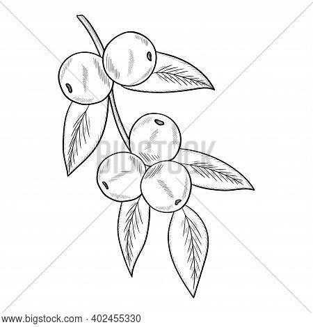 Camu Camu Berry, Fruit, Leaf Branch. Superfood Organic Berry. Hand Drawn Sketch Illustration.