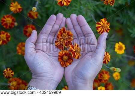 Yellow Cosmos Bipinnatus Flowers (garden Cosmos Or Mexican Aster) In Woman Hand On Blurred Colorful