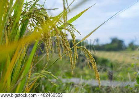 Ear Of Paddy : Rice A Grain That Is The Most Important Food Crop Of The Developing World.