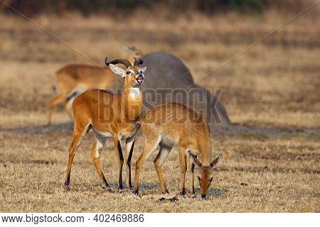 The Breeding Season With The Kob (kobus Kob) On The Plains With Flehmen Response Also Called The Fle