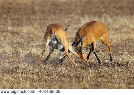 The Kob (kobus Kob), Two Adult Males In A Duel During The Breeding Season. A Duel Of Two Large Male