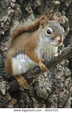 An American Red Squirrel female sitting on a tree branch poster