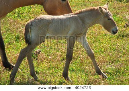 Przewalski Horse Colt
