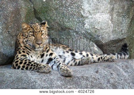 Amur Leopard Ii