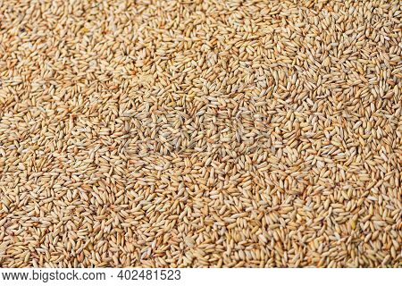 Paddy Rice Texture Background, Dry Seed Rice Organic Paddy Agricultural Products From In Thailand As