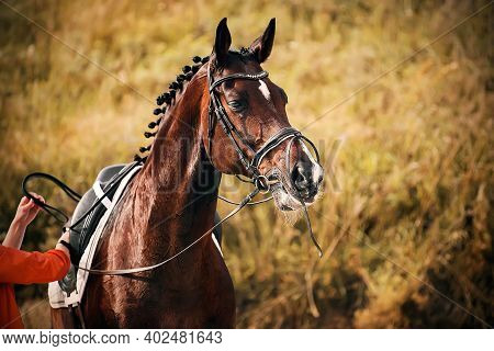 A Beautiful Bay Horse With A Braided Mane Waits For The Rider To Adjust The Straps On The Saddle On