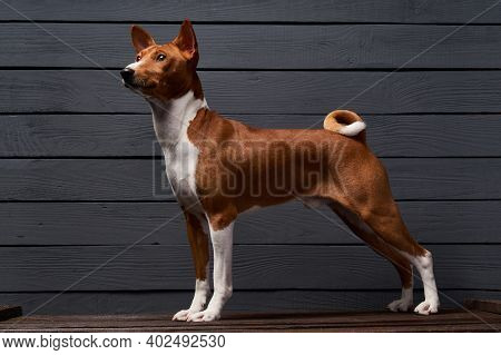 Pedigree Shot Of Basenji Dog Sitting Looking At Camera