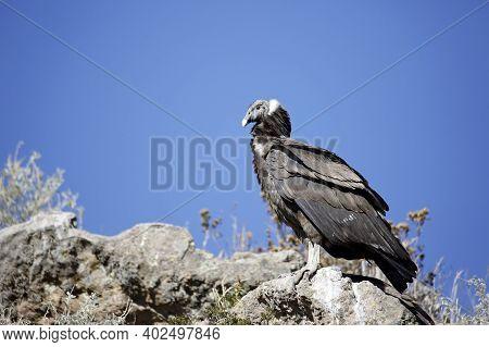 Andean Condor (vultur Gryphus) In Profile. Colca Canyon, Peru