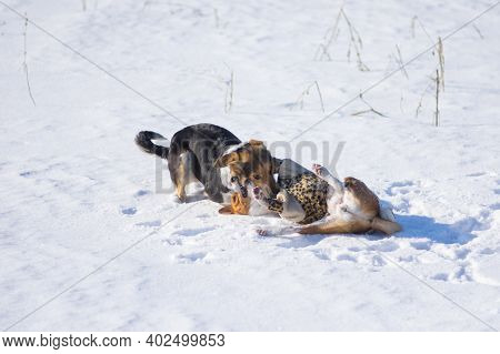 Basenji Dog Wearing Winter Coat  Fighting With Bigger Mixed Breed Black Female Dog On Fresh Snow At