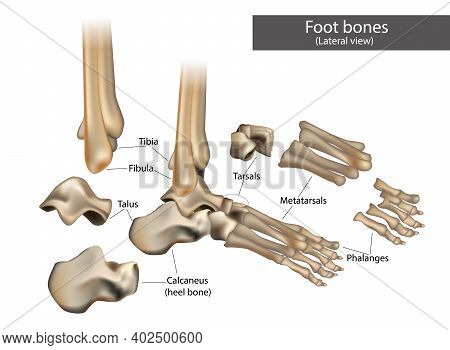 Anatomical Structure Of The Human Foot Bones. Lateral View