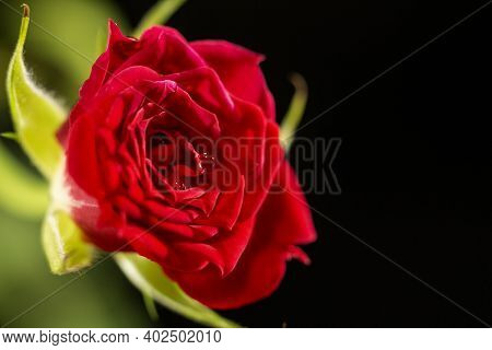 Tea Rose, Macrophotography. Natural Flower On A Black Background. Decorative Rose With Water Drops.