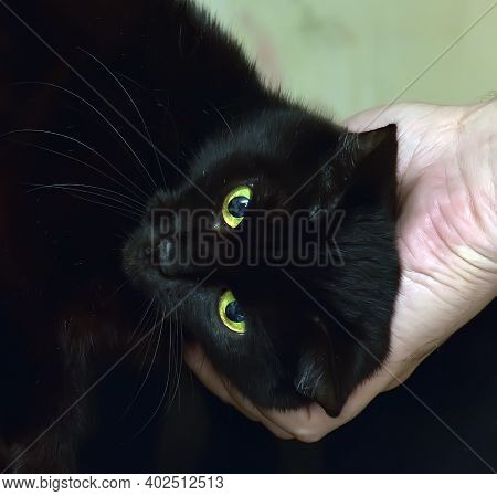 Affectionate Domestic Black Cat Stroking Close Up