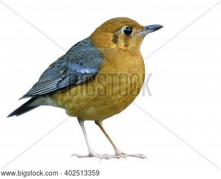 Orange-headed Thrush (geokichla Citrina) Most Beautiful Bright Chubby Orange To Yellow Feathers Bird