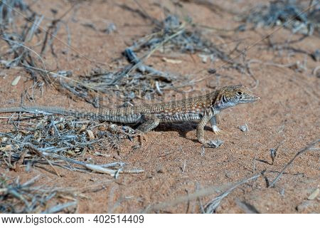 Saudi Fringe-fingered Lizard (acanthodactylus Gongrorhynchatus) In The Desert Sand Macro Photography