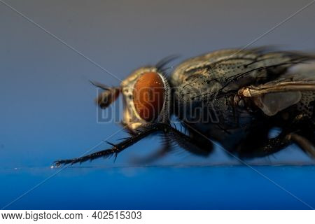 A Very Close Up View Of A Housefly (musca Domestica) In The Suborder Cyclorrhapha Macro Photography