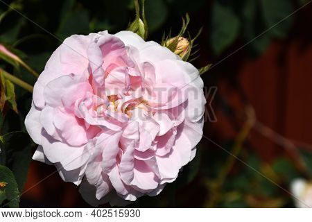 Single Beautiful Blossom Pink Rose Close Up