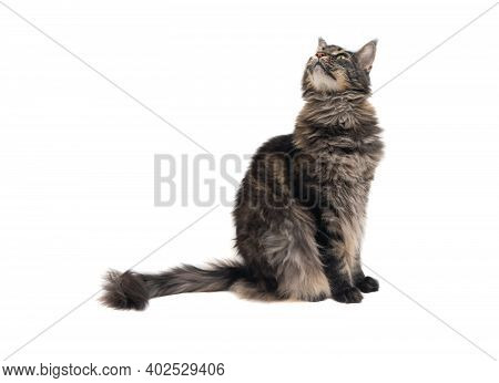Maine Coon Cat, Sitting And Looking Up