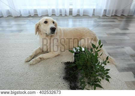 Cute Golden Retriever Dog Near Overturned Houseplant On Light Carpet At Home