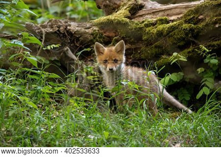 Little Red Fox Cub Standing In Forest In Summer Nature