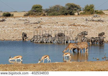 Plains zebras, blue wildebeest, springbok and kudu antelopes at a waterhole, Etosha National Park, Namibia