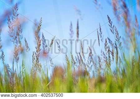Tall Grass In The Field. Background From Tall Field Grass. Tall Green Grass In A Wild Field.