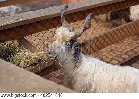 Horned Shaggy White Mountain Goat Standing In A Sunny Early Spring Day On The Farm With A Wooden Fen