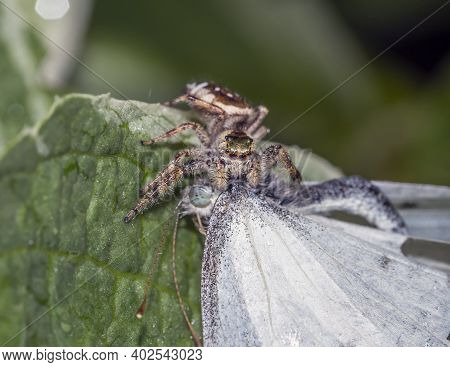 Jumping Spiders Or The Salticidae Are A Family Of Spiders