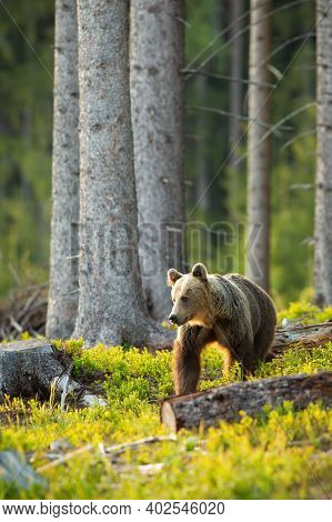 Brown Bear Looking Aside Backlit By Morning Sun In Spruce Forest In Springtime