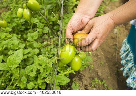 Woman's Hands Harvesting Organic Tomatoes From Greenhouse - Solanum Lycopersicum