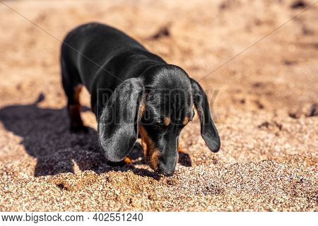 Cute Curious Dachshund Puppy Explores Beach And Sniffs Ground In Search Of Food Or Something Interes