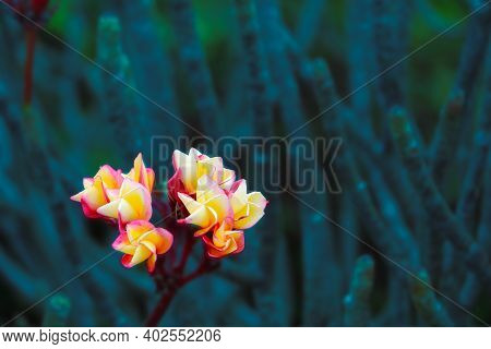 Plumeria Red Yellow White Flower And Frangipani Floral, Plumeria Flower Buds