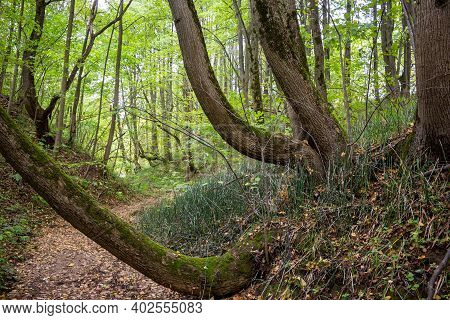 Crooked Trees Growing On The Slope Of A Forest Ravine. Mysterious Forest With Crooked Trees