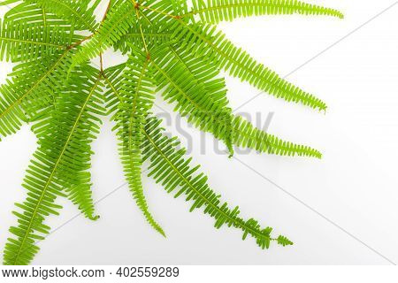 Fresh Fern Branch Leaf Isolated On White Background Top View.