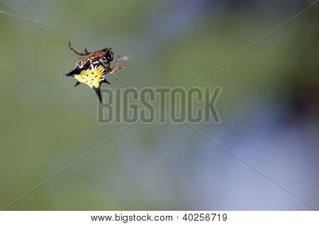 crab-like orbweaver spider