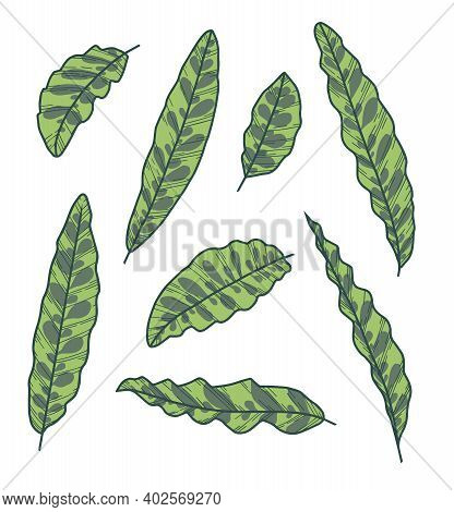 Vector Collection Set Of Exotic Leaves Of Houseplant With Botanic Name Calathea Lancifolia, Also Cal